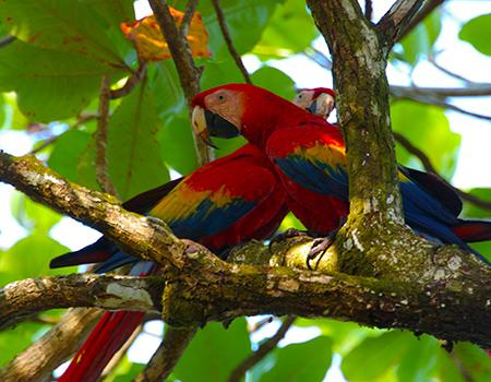Macaws Drake Bay
