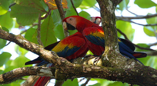 Macaws bird watching Osa Peninsula