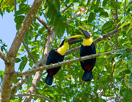 Toucans bird watching Osa Peninsula