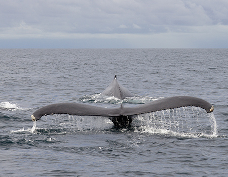 Whales Corcovado Costa Rica