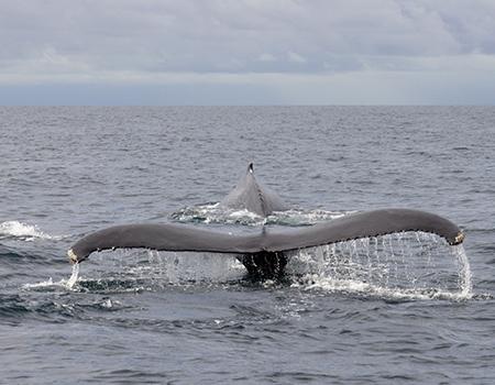 Humpback whale Osa Peninsula