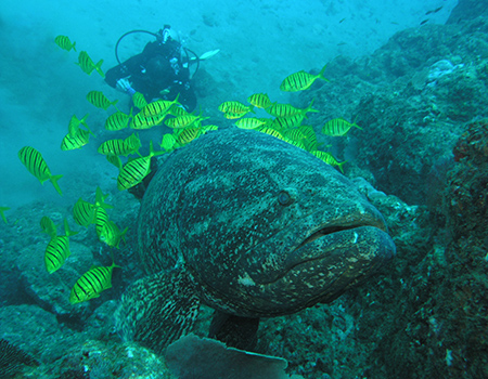 Giant grouper scuba diving