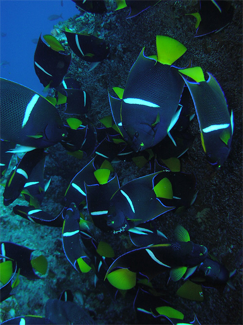 Exotic fish scuba diving the Osa Peninsula