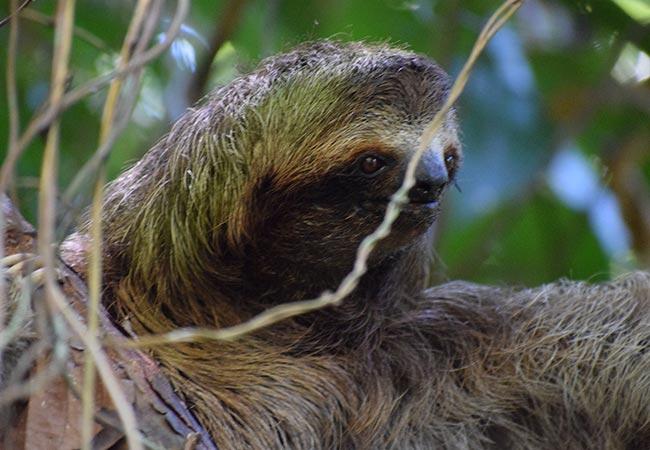 Costa Rica sloth Cano Island