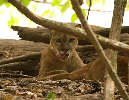 Drake Bay panther