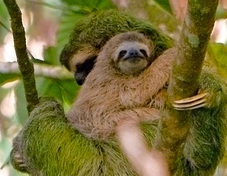 Sloths Corcovado