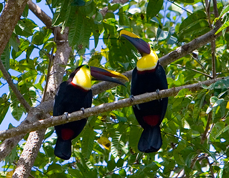 Toucans the Osa