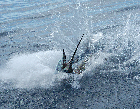 Sailfish the Osa Peninsula